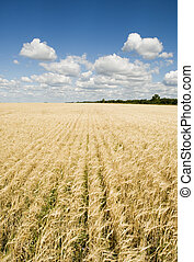 wheat field and blue sky - blue sky and wheat field