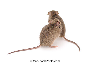 Mice. - Back view of Wood Mice isolated on white background....