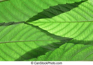 jesion, drzewo, liście