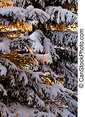 Spruce with snow in sunshine - Close up of spruce tree with...