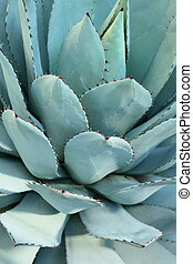Sharp pointed agave plant leaves bunched together