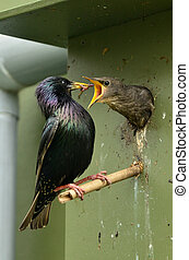 Birdhouse at home garden - The Common Blackbird (Turdus...