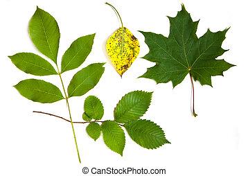 maple leaf - autumn leaves