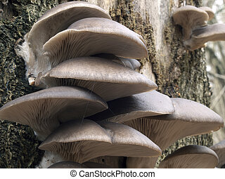 Oyster mushrooms on a tree trunk