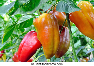 close-up of ripening peppers in the organically cultivated...