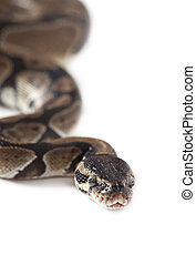 Portrait of Python snake isolated on white background