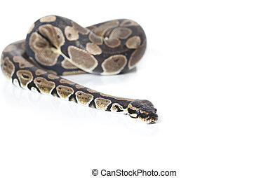 Royal Python in studio against a white background