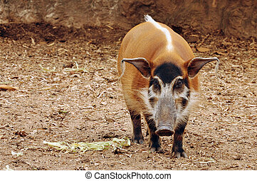 red river hog - The red river hog has striking red fur, with...