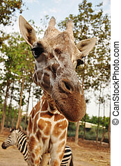 giraffe - The giraffe is related to other even-toed...