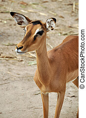 Impala - The Common Impala is one of the most abundant...