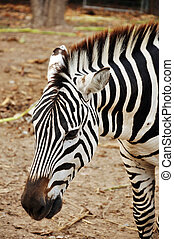 Zebras evolved Among the Old World horses within the last 4...