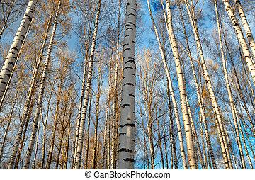 Birch trees background.