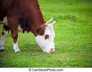Portrait of the white and brown cow