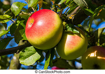 apples on an apple tree in autumn - apples in the fall on an...