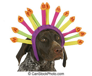happy birthday dog - german short haired pointer wearing...