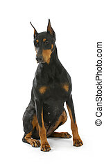 doberman pinscher sitting on white background - 3 years old...