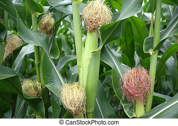 Corn on Stalks - Corn grown in a rural farm ready for...
