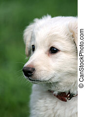white puppy - cute white puppy on soft green background