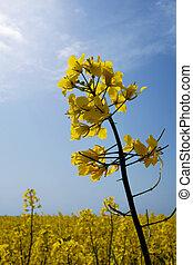 rape flowers - rape field under biue sky with clouds