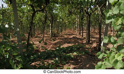 Row of grape vines during harvest time