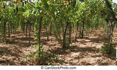 Rows of grape vines in the wind - Rows of grape vines during...