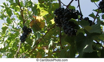 Ripe hanging grapes on the vine