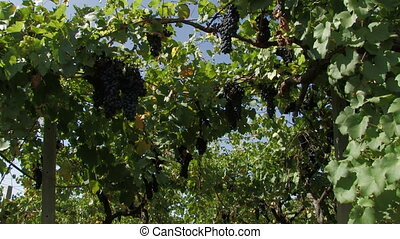Hanging grapes on the vine