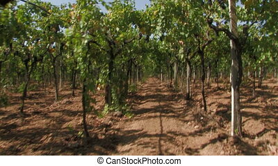 Row of grape vines - Travelling shot of a row of grape vines...