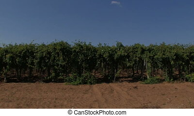 Panoramic of rows of grape vines during harvest time
