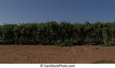 Rows of grape vines in the wind