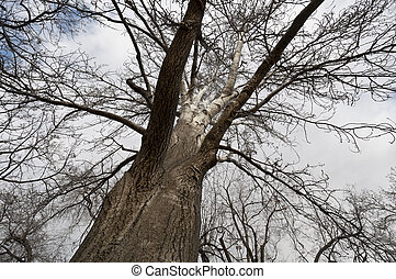 Poplar tree in winter. Trunk and branches of White Poplar...