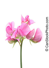 sweet pea - Sweet pea flower isolated on white