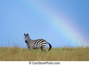 Zebra and Rainbow - A zebra under a rainbow on the plains of...