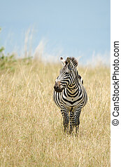 Zebra - A Zebra on the plains of the Masai Mara in Kenya,...