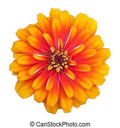 Zinnia flower isolated on white background