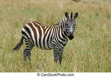 Young Zebra - Portrait of a young Zebra on the plains of the...