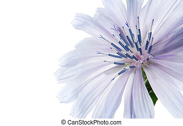 Blue flower - beatiful flower on the white background