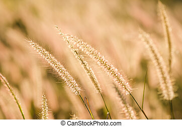 Foxtail weed in the nature - Flower foxtail weed in the...
