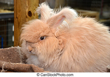 angora rabbit - Fluffy angora rabbit in a barn.