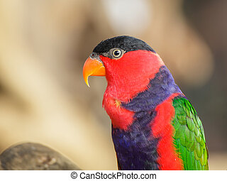 Black-capped lory, Scientific name quot;Lorius loryquot;...