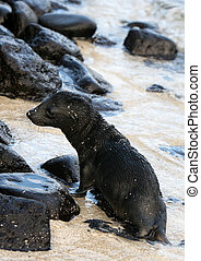 Baby Sea Lion - A baby sea lion plays on the beach in the...