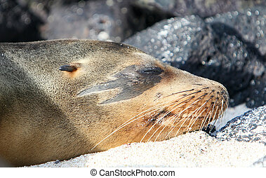 Unique Sea Lion - This Sea Lion has a unique marking around...