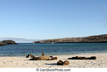 Sea Lions on Beach - Sea Lions sun themselves on the sands...