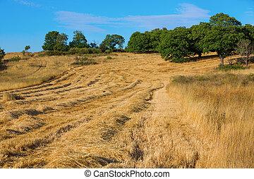 trigo, campos, paisajes, cosecha
