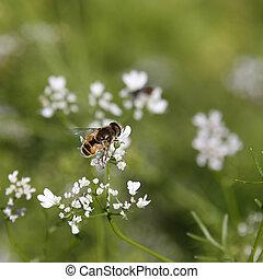 abeja, Culantro, flores