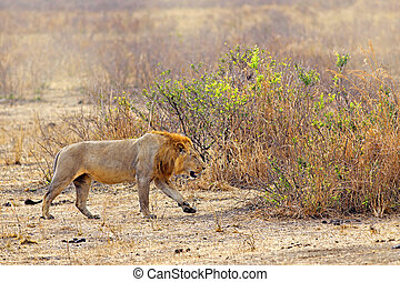 Wild lion in the African Savannah, Tanzania