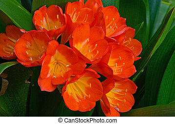 clivia miniata - cluster bell-shaped flower evergreen...