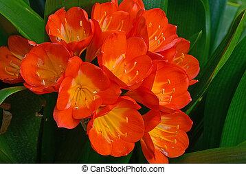 clivia miniata - cluster bell-shaped flower evergreen...