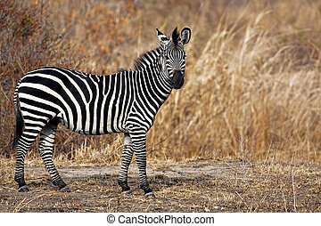 African Zebra standind in the dry savannah, Mikumi, Tanzania