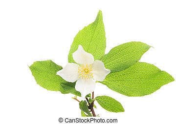 Mock Orange blossom and leaves on white